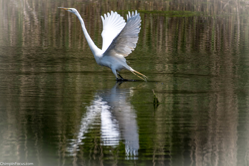 CIF-Great Egret-28.jpg