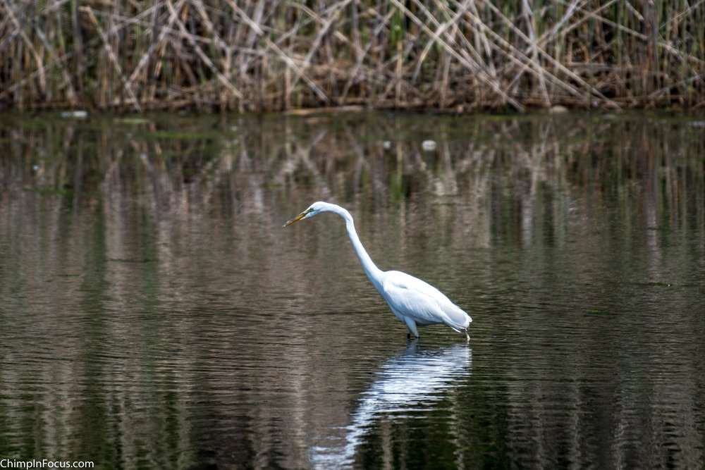 CIF-Great Egret-31.jpg