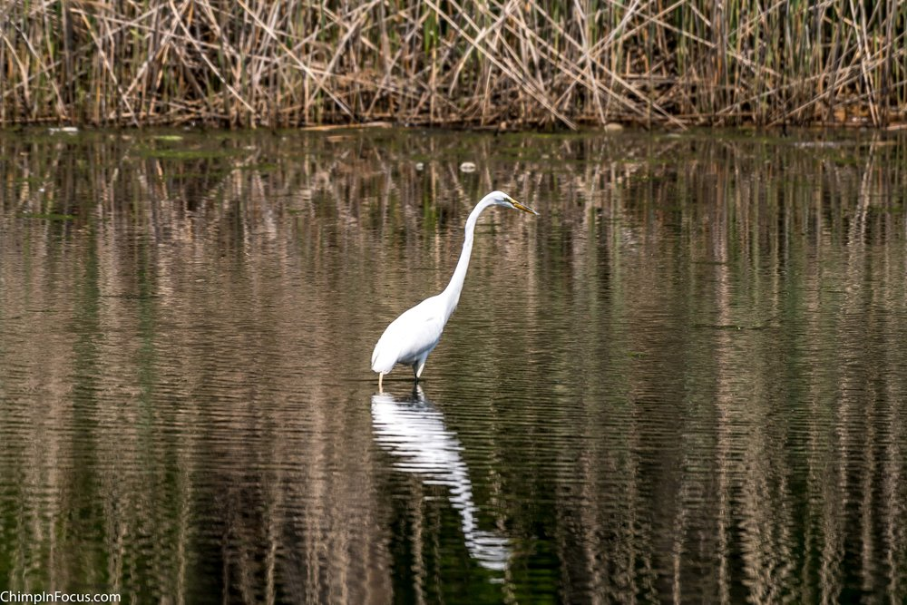 CIF-Great Egret-34.jpg