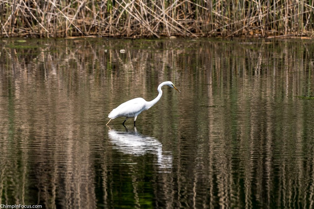 CIF-Great Egret-35.jpg