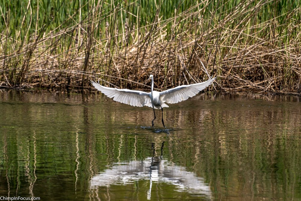 CIF-Great Egret-43.jpg