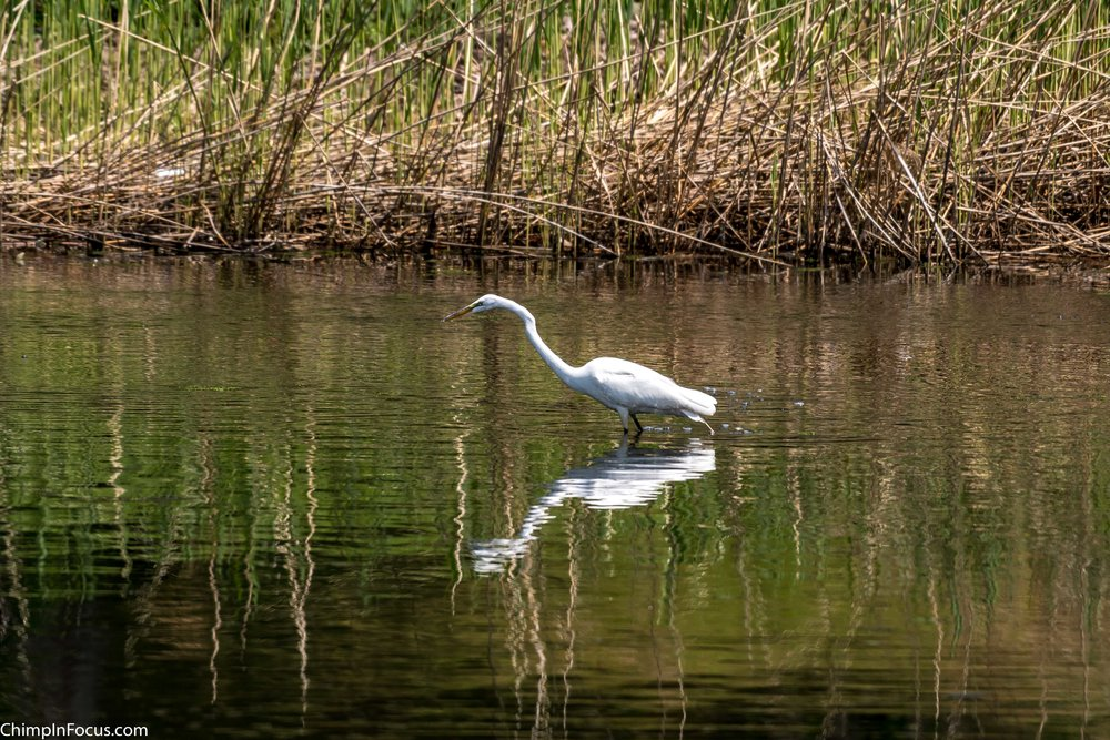 CIF-Great Egret-50.jpg