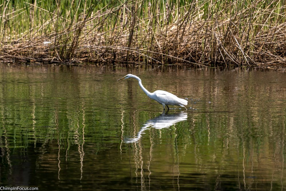 CIF-Great Egret-51.jpg