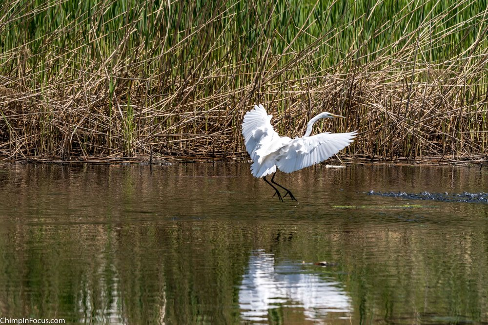 CIF-Great Egret-52.jpg