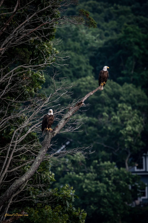Bald Eagles perched.