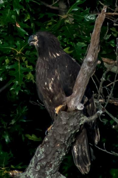 Eaglet perched