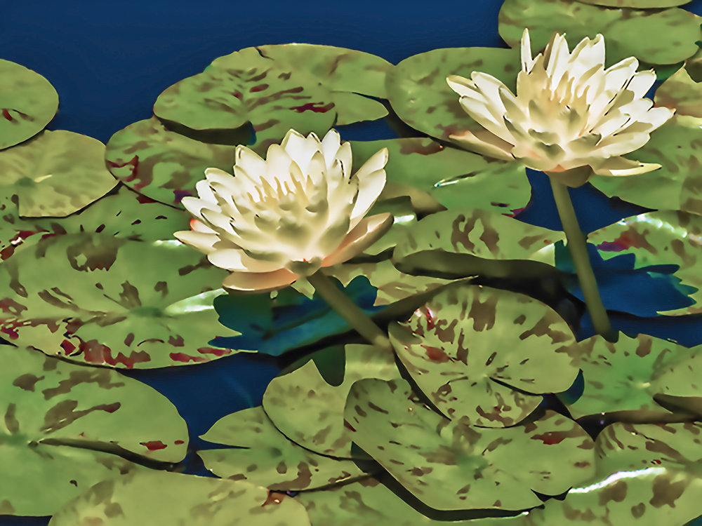 Water Lilly (107)