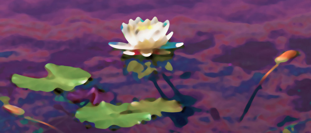 White Water Lily (0169)