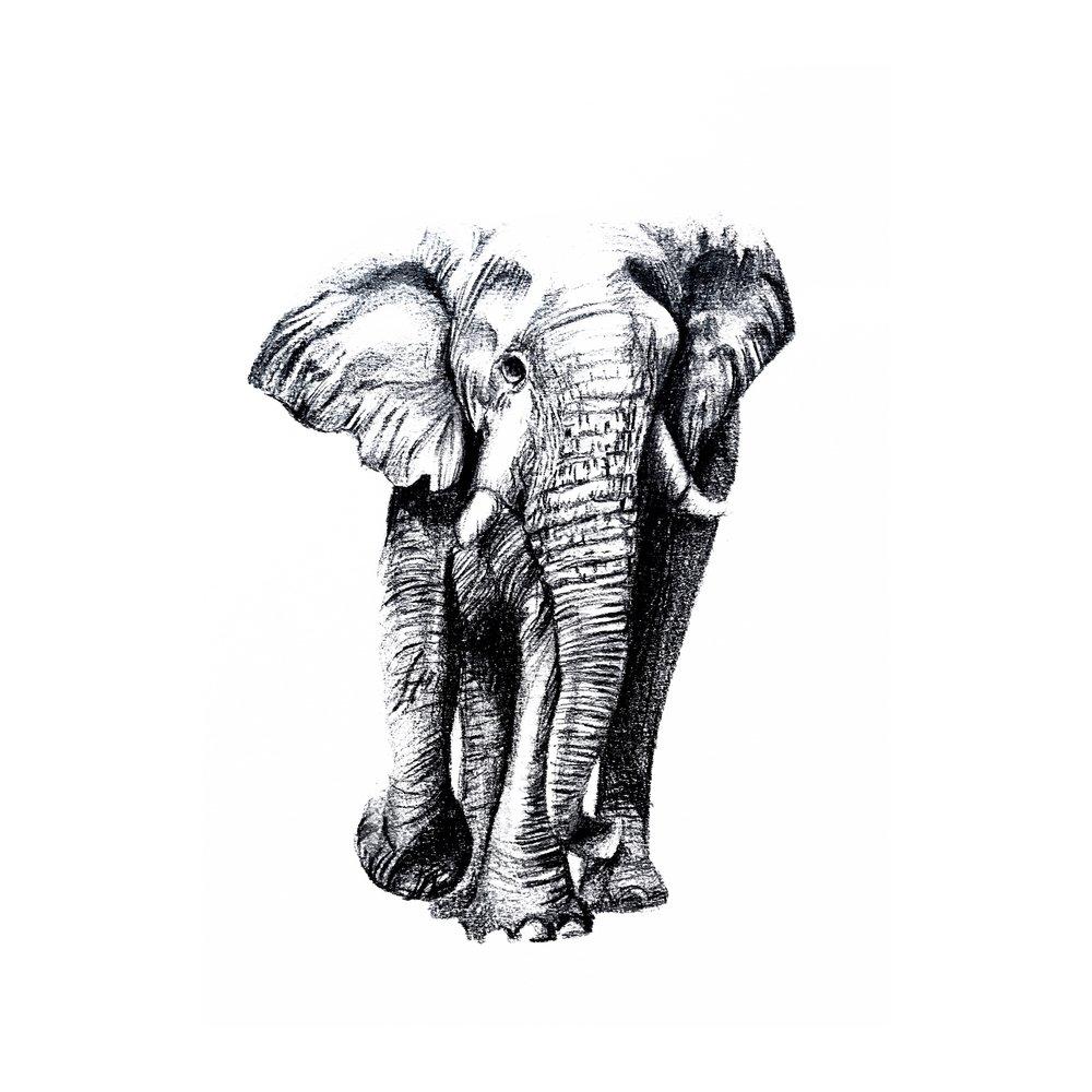 Elephant conservation fundraiser // Graphite on paper // Sydney, Australia
