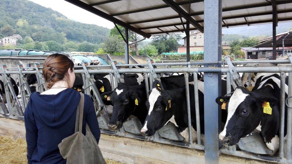 Experiències ramaderes i gastronòmiques en granges de vaques o porcs - Viu un dia com si fossis un autèntic