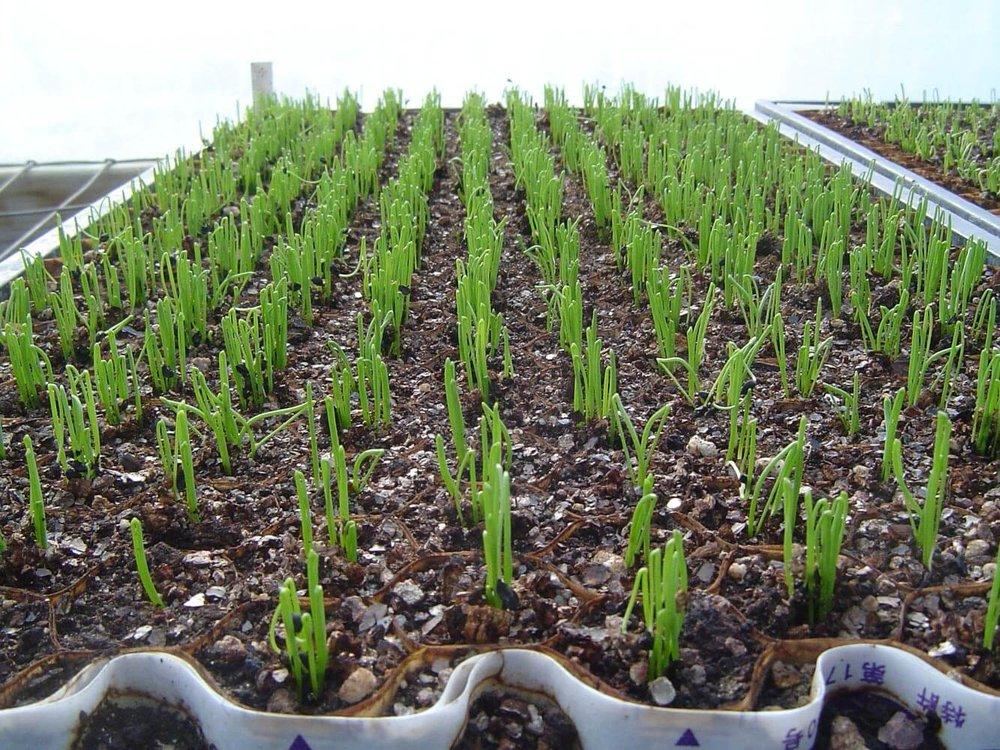 Paper Pot Scallions Emerging.jpg