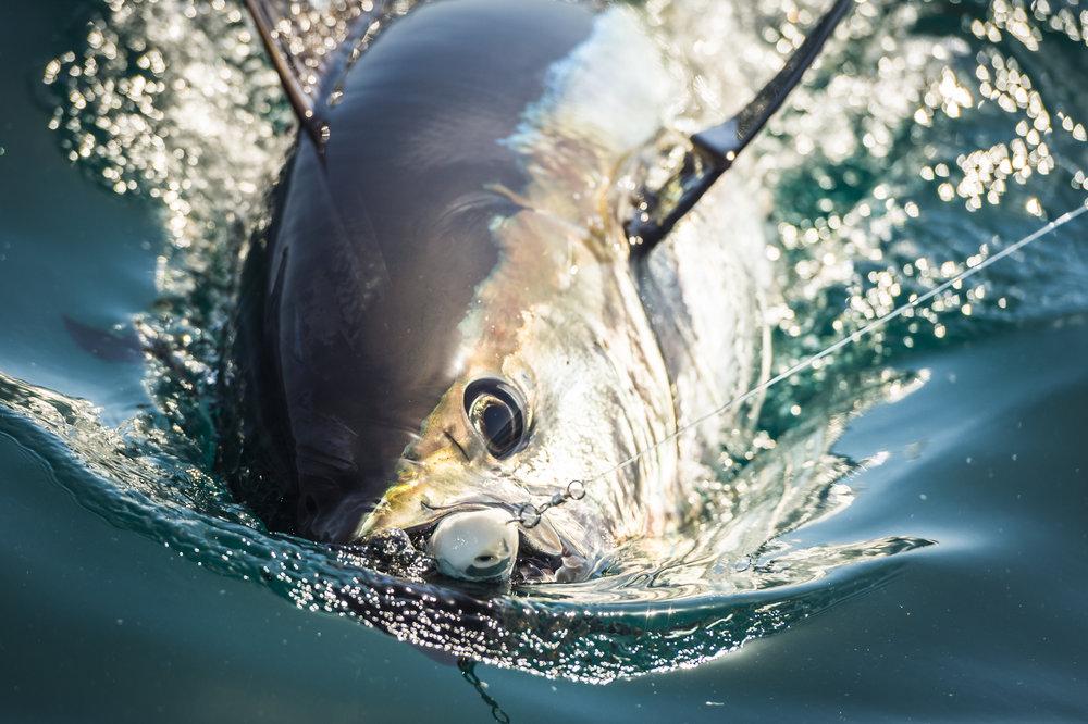 Tuna No Wm (1004 of 5).jpg