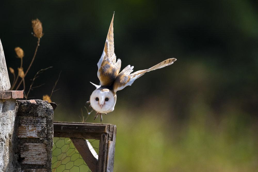 Barn Owl Sept 13th (1000 of 1)-4.jpg