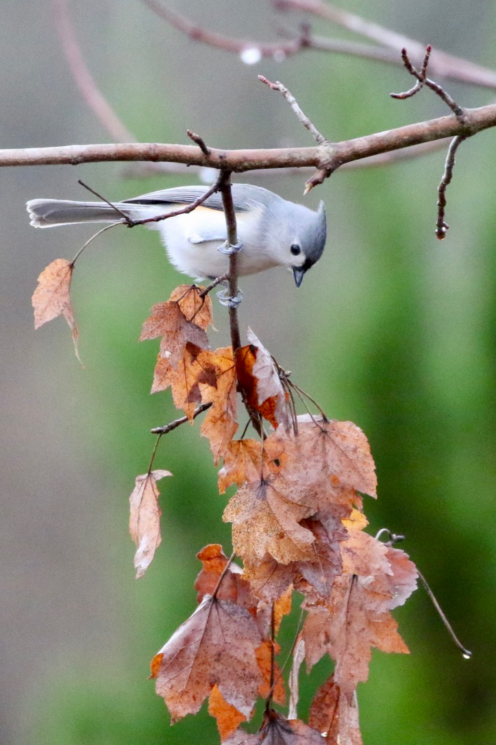Tufted Titmouse in Fog