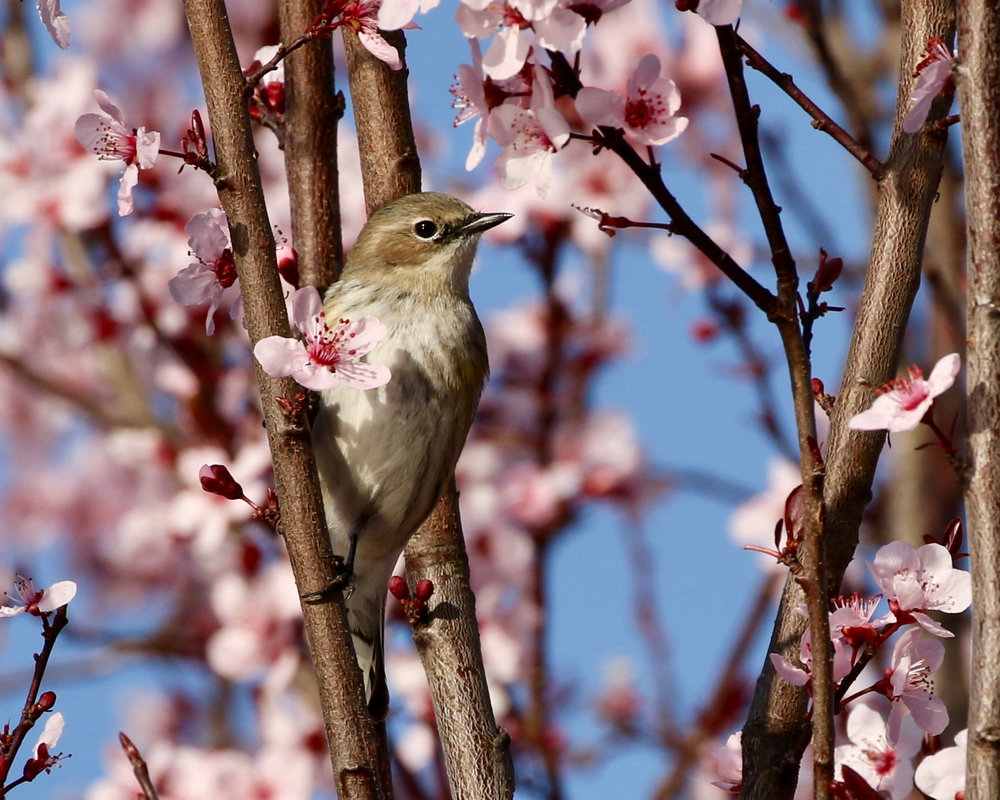 Yellow-rumped Warbler and Plum Blossoms