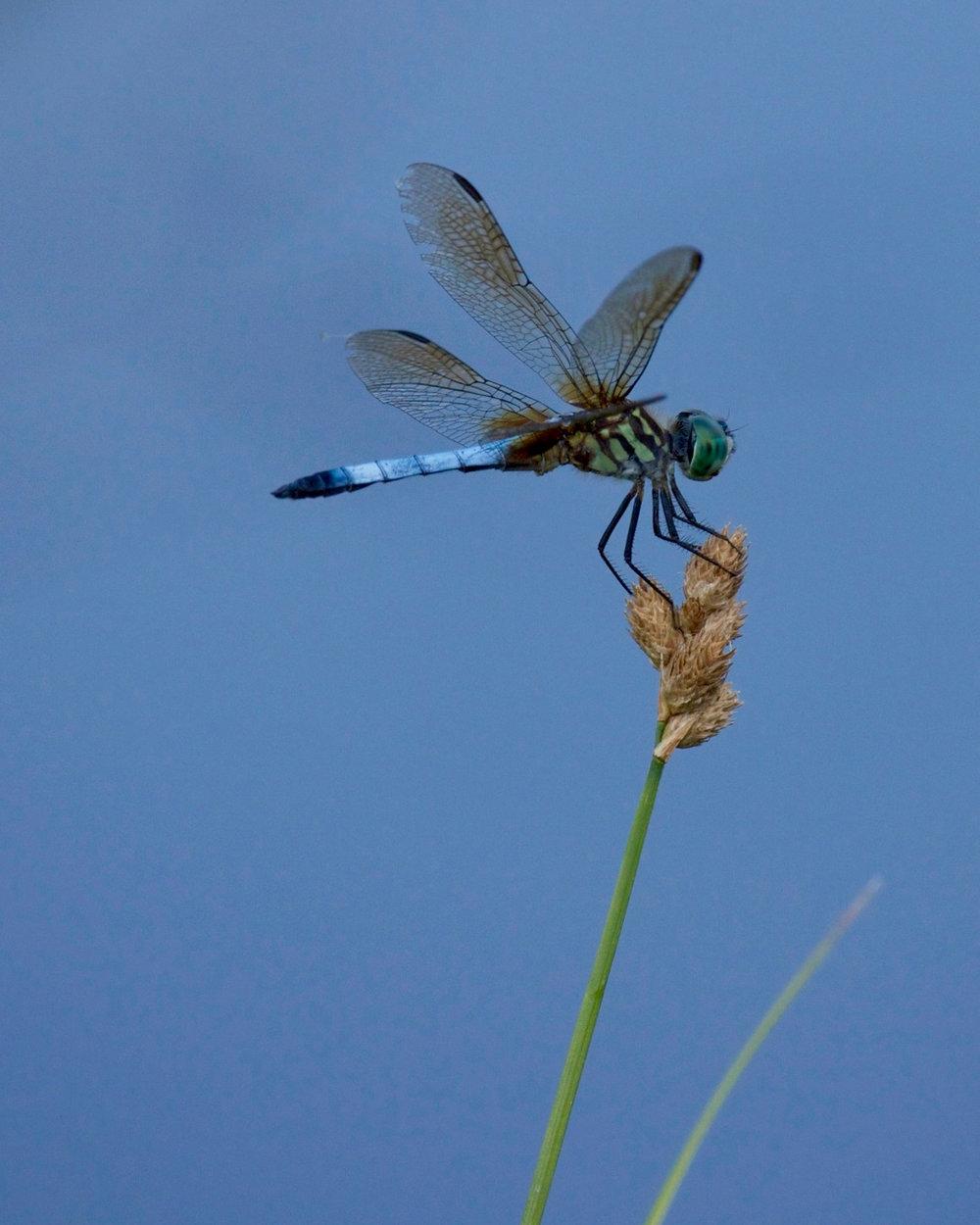 Dragon Fly.jpg