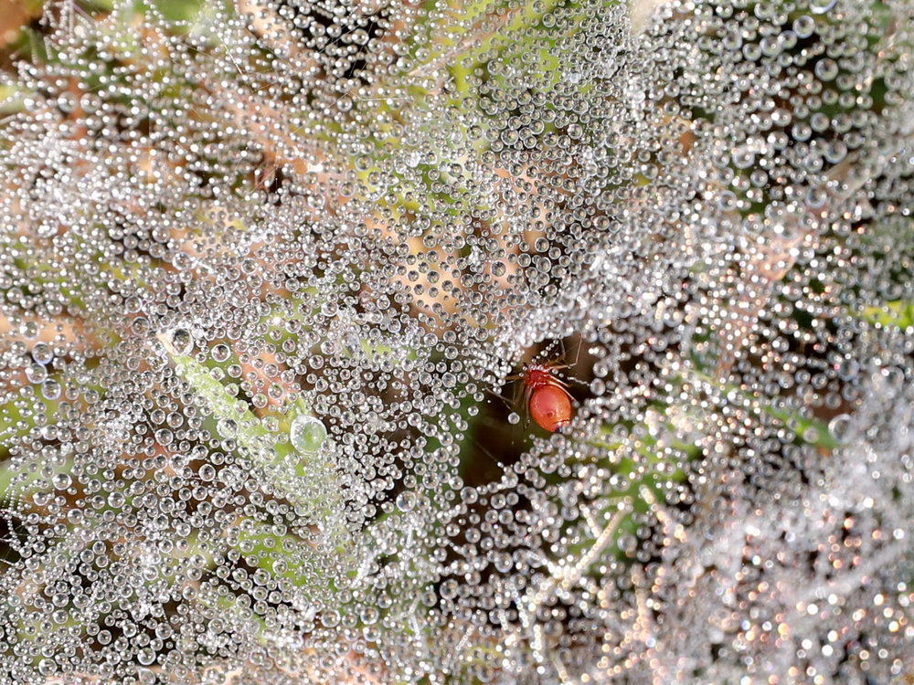 Dewdrops on cobweb with spider.jpg