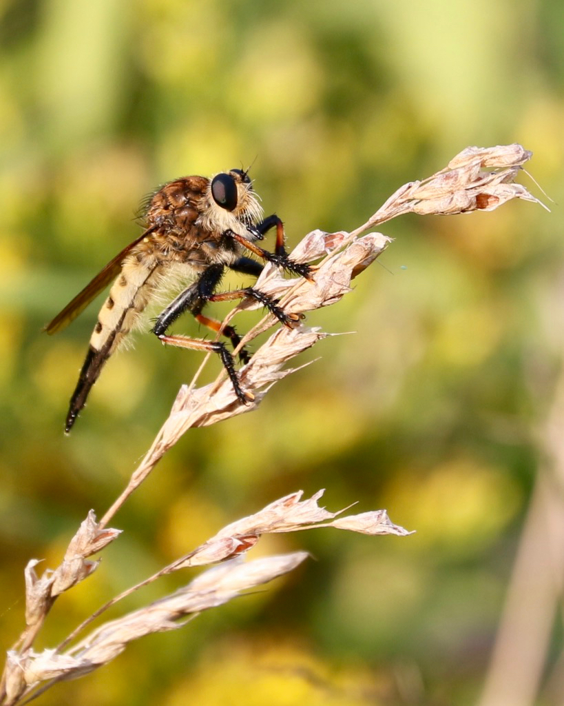 Robber Fly - 1.jpg
