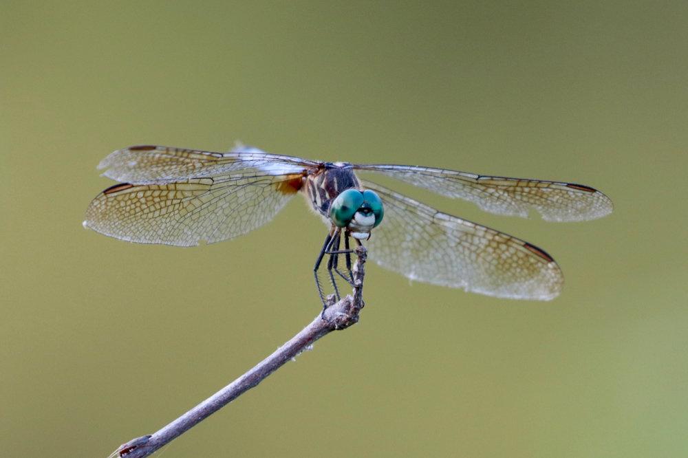 Dragonfly (1).jpg