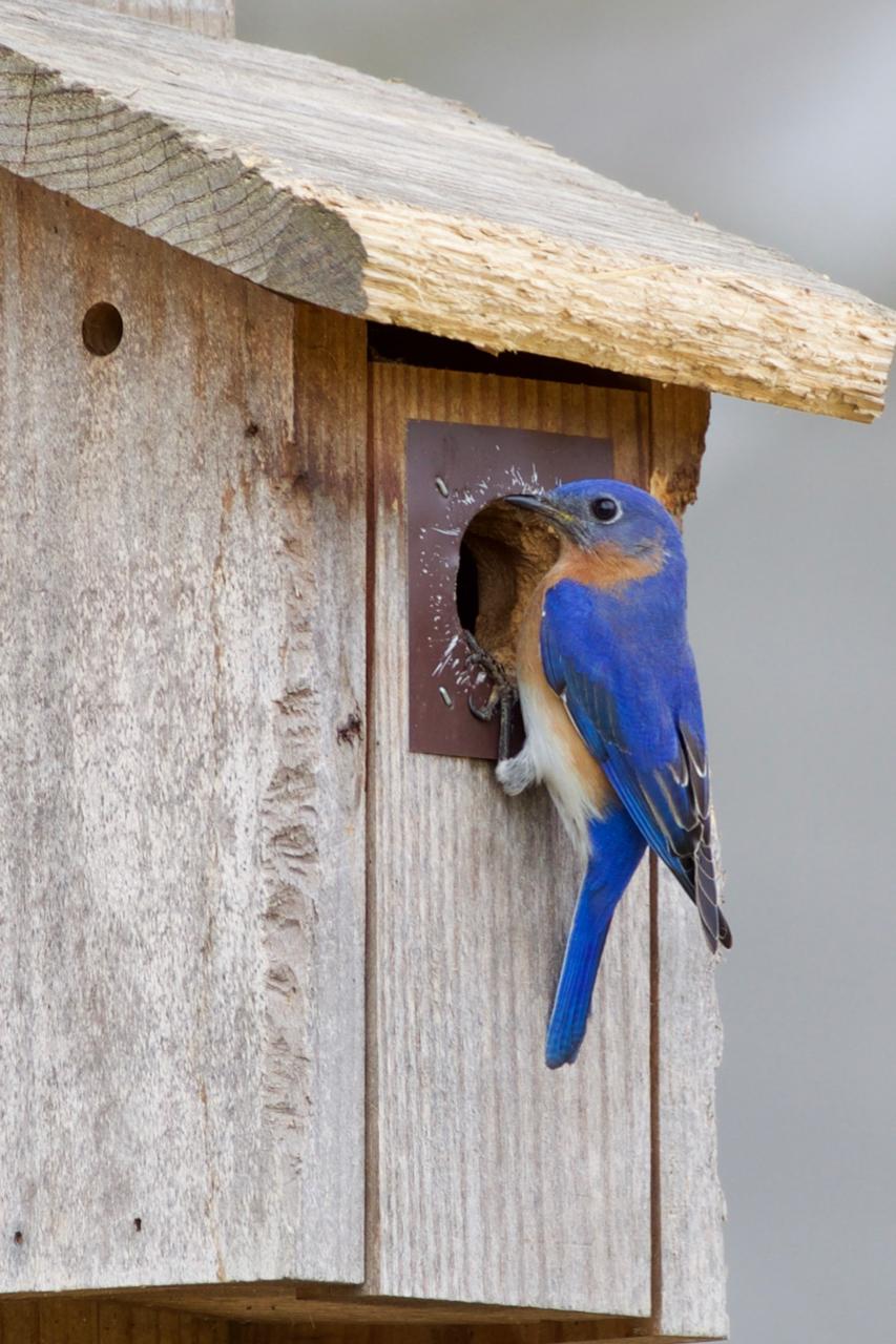 Bluebird at Nest