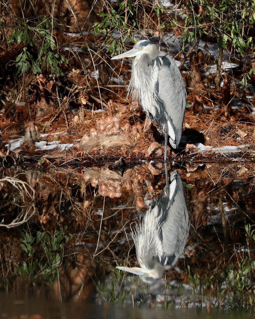 Reflecting Blue Heron