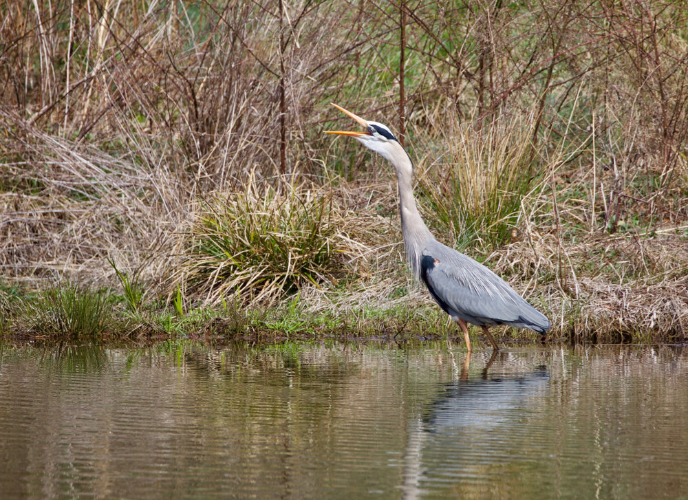 Blue Heron Calling