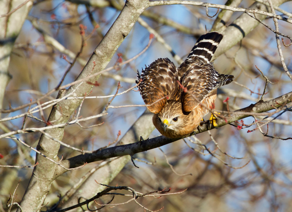 Red-shouldered Hawk Departing
