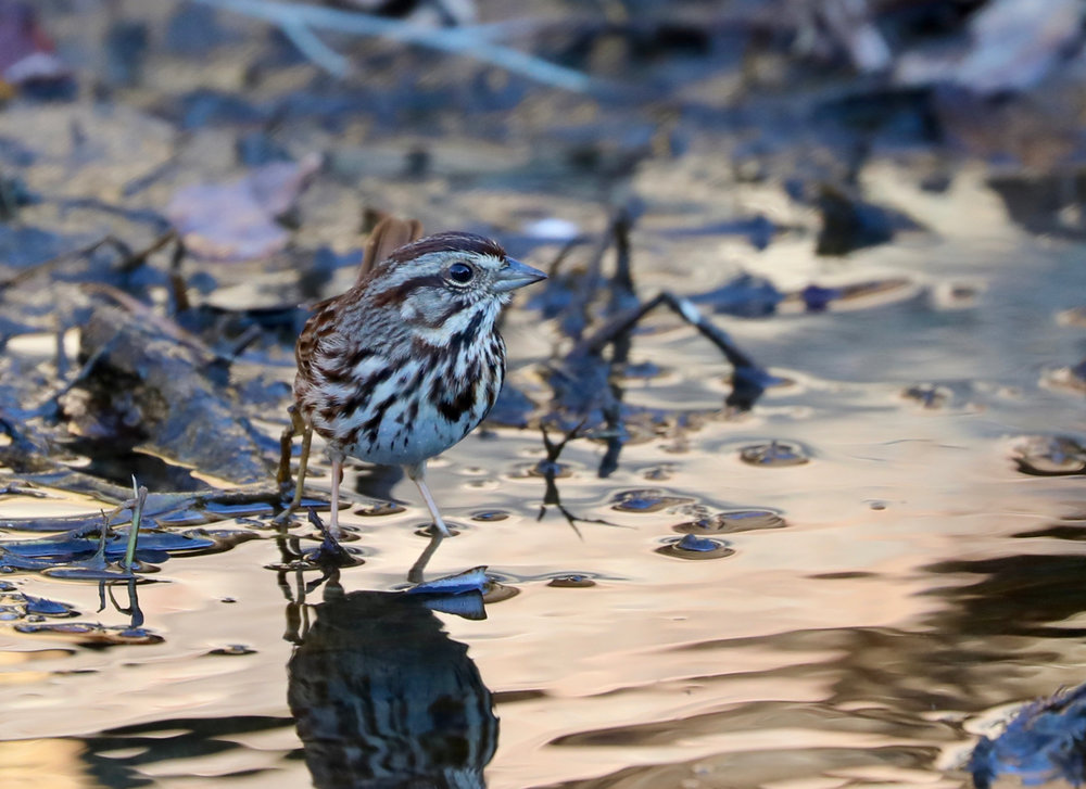 Song Sparrow at Sunset
