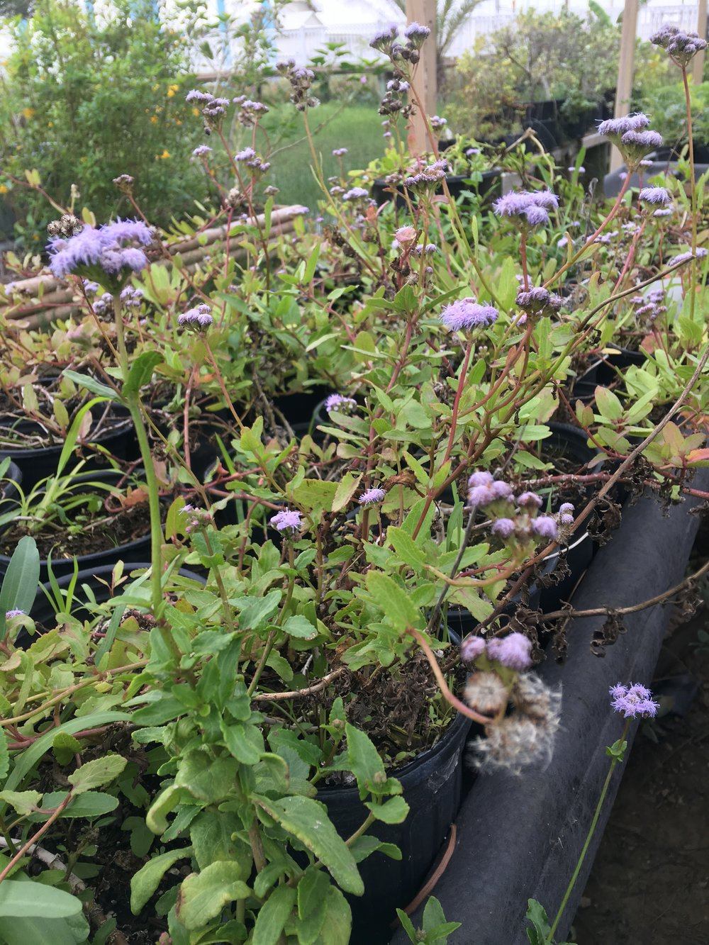 Padre Island Mistflower