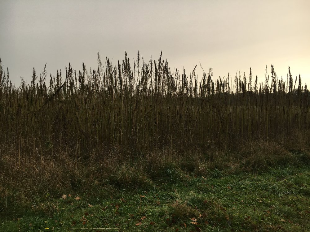MOssagården - En höstdag på Mossagården i Skåne. Jag kom på självaste skördedagen av denna ståtliga hampa. Mossagården står för 10 hektar av Sveriges totala areal på 160 hektar.På hösten skördar man bara toppen på hampan, det är där fröna sitter. Dessa blir till både olja och det man kalla hampakaka.