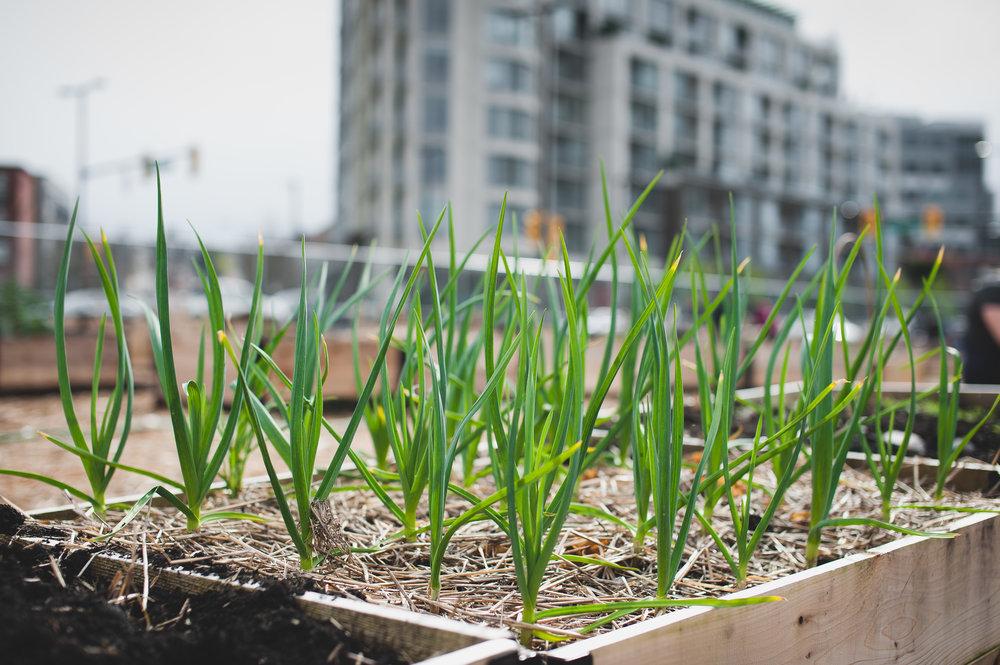 Shifting_Growth_Raised_Garden Beds_Community_Garden_Vancouver - South_False_Creek_Garden - 25.jpg
