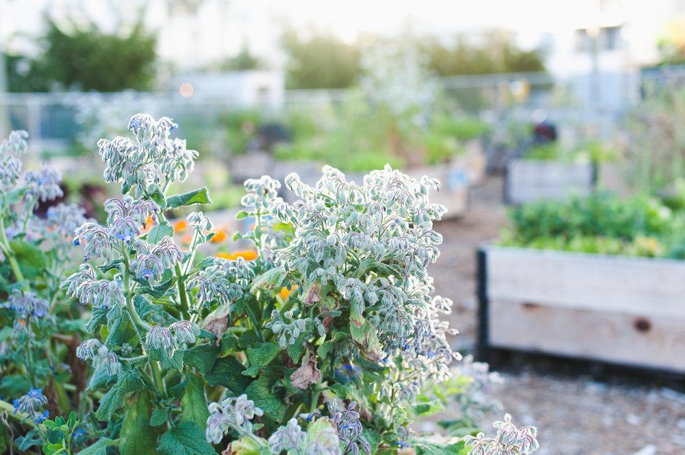 Southeast_False_Creek_Community_Garden_Raised-Beds_7-06.2015.jpg