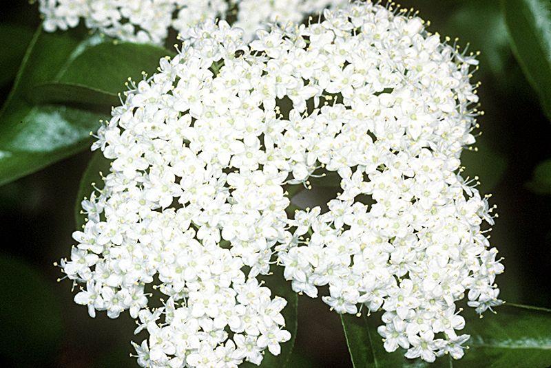 800px-viburnum_prunifolium_usda2.jpg