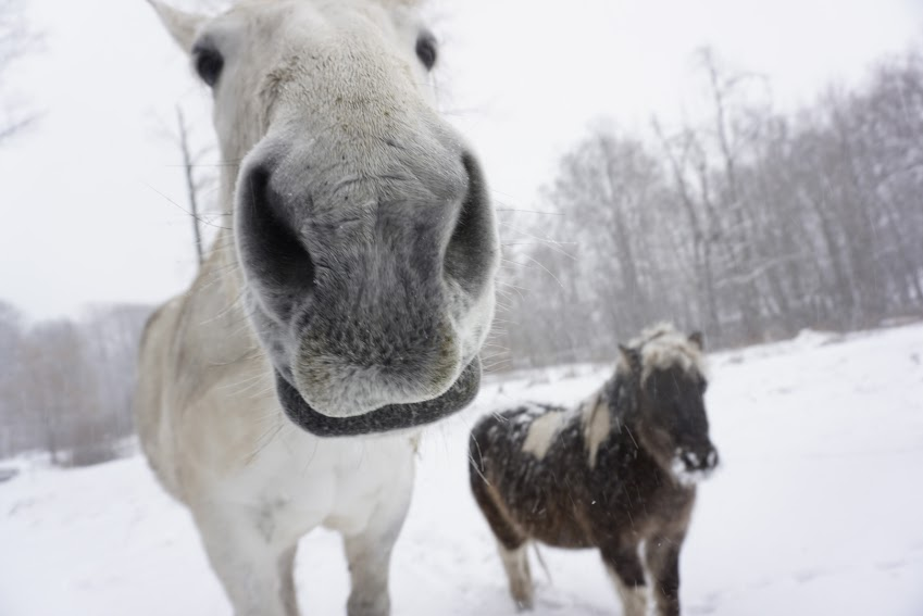 horse and mini horse