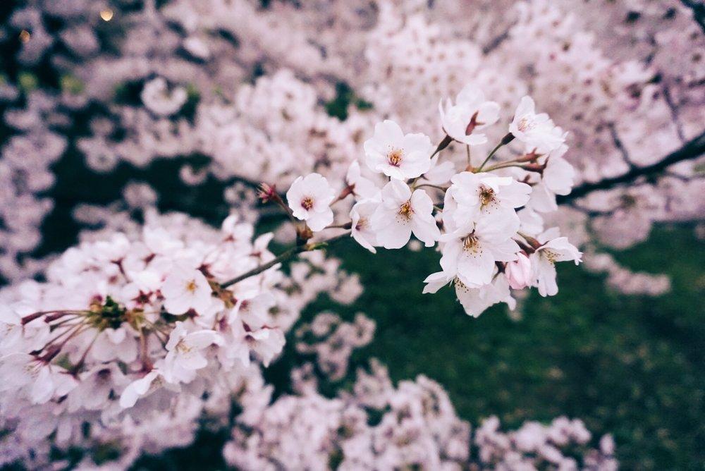 cherry-blossoms-kinuta-park-close-up