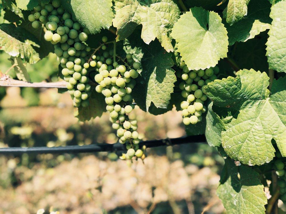 green grapes vineyards at the quinta