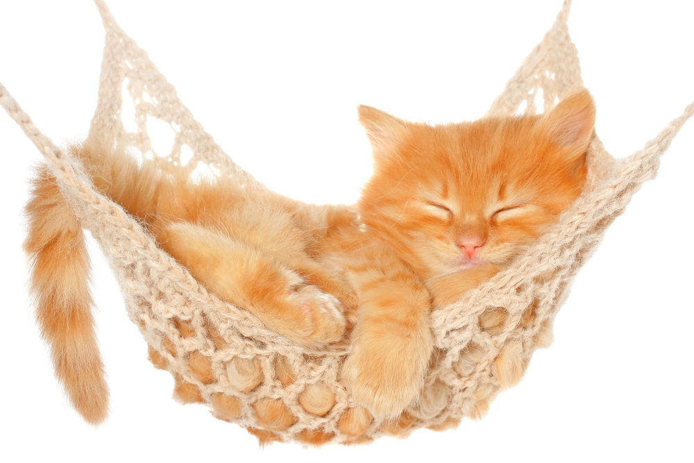 iStock-Purchased Cat in Hammock 178763706.jpg