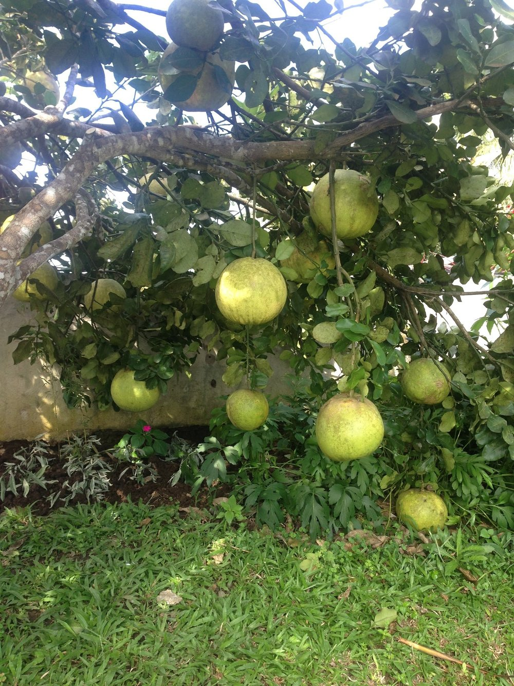 Pomelos growing!
