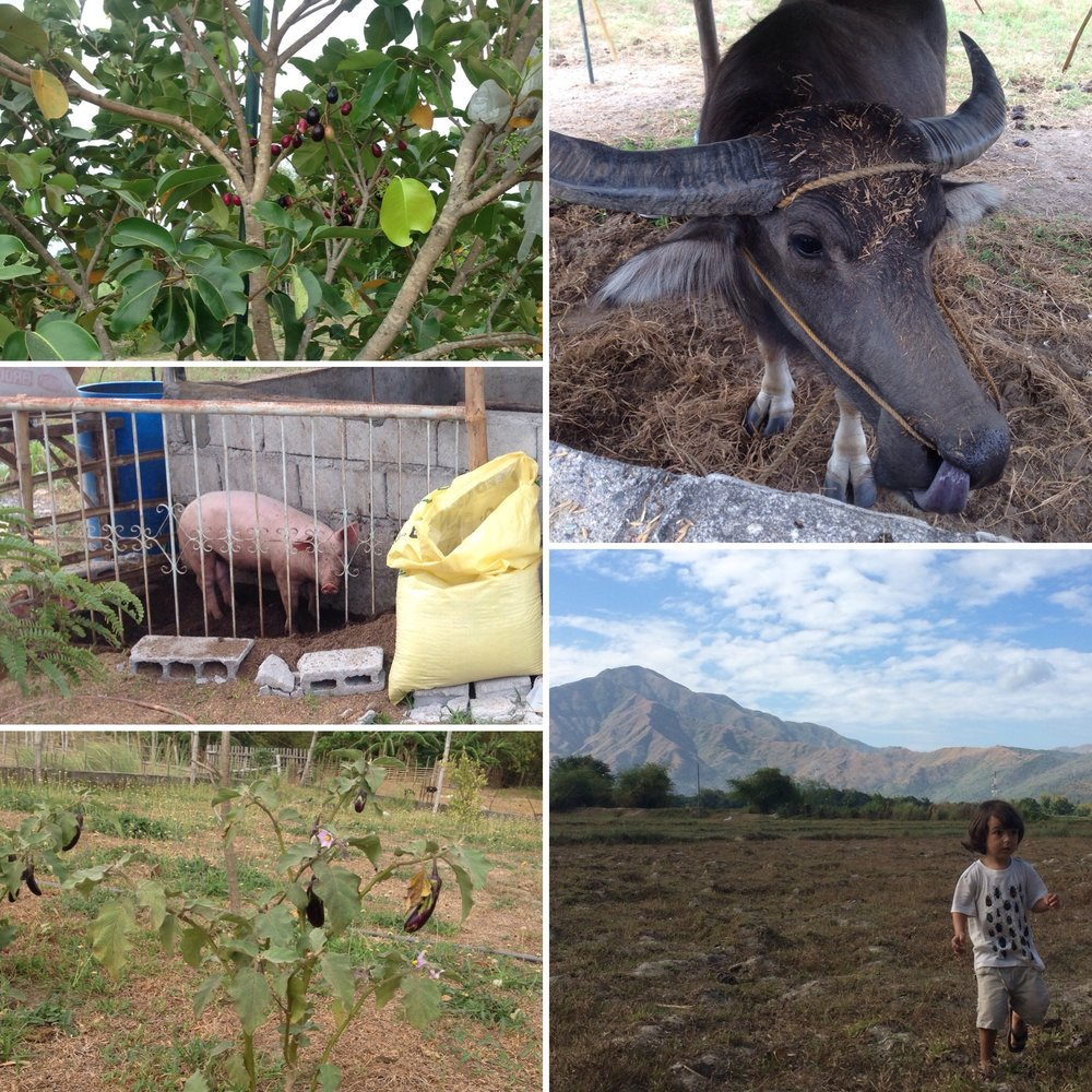 Fruit tree, carabao, fields, eggplant tree, pig