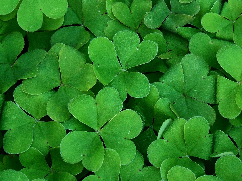 a group of shamrocks