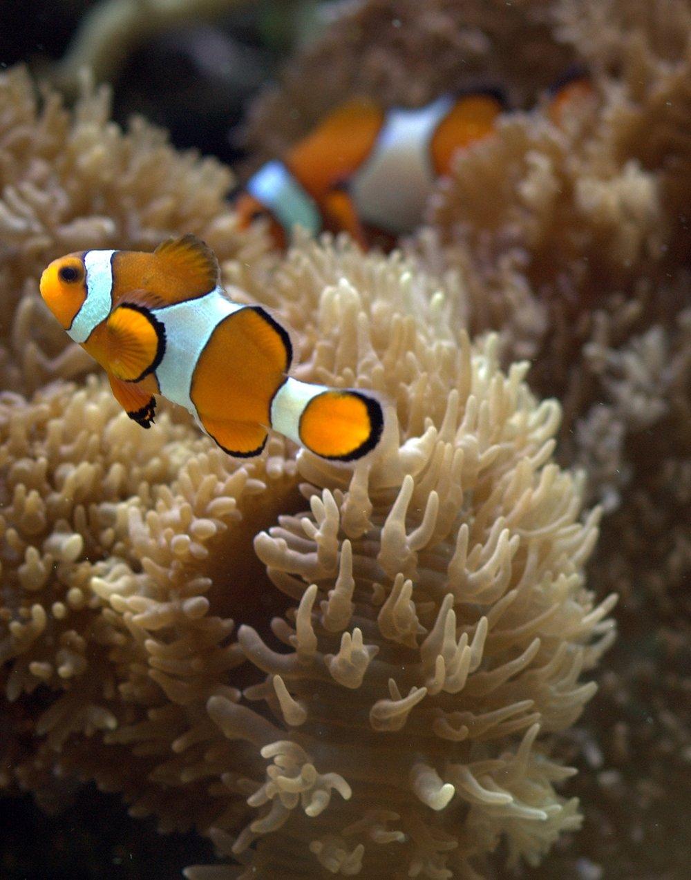 clownfish swimming in an aquarium