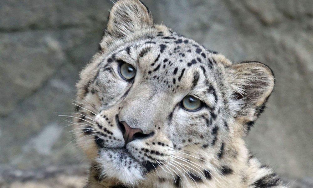 Snow-Leopard-1.jpg