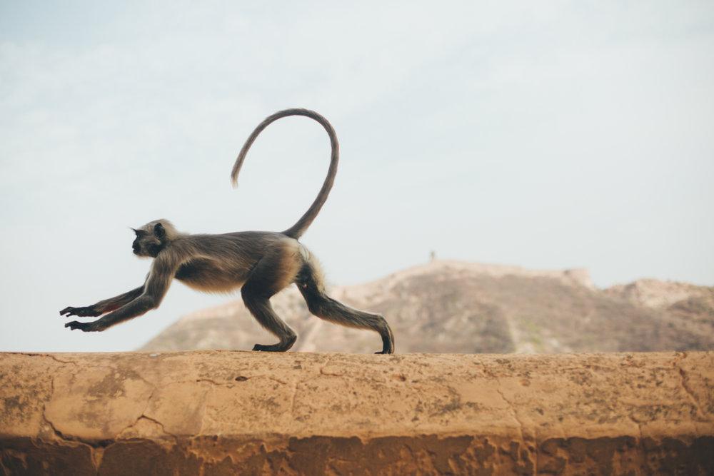 zoomz_monkeys_galtaji_jaipur_vespa