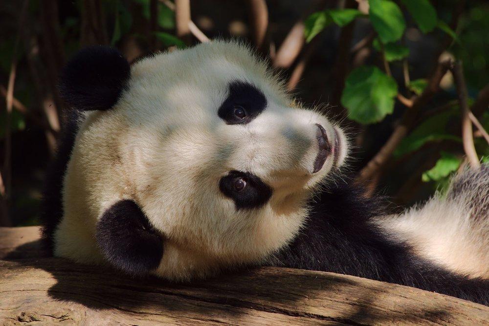 Panda4_v2.jpg