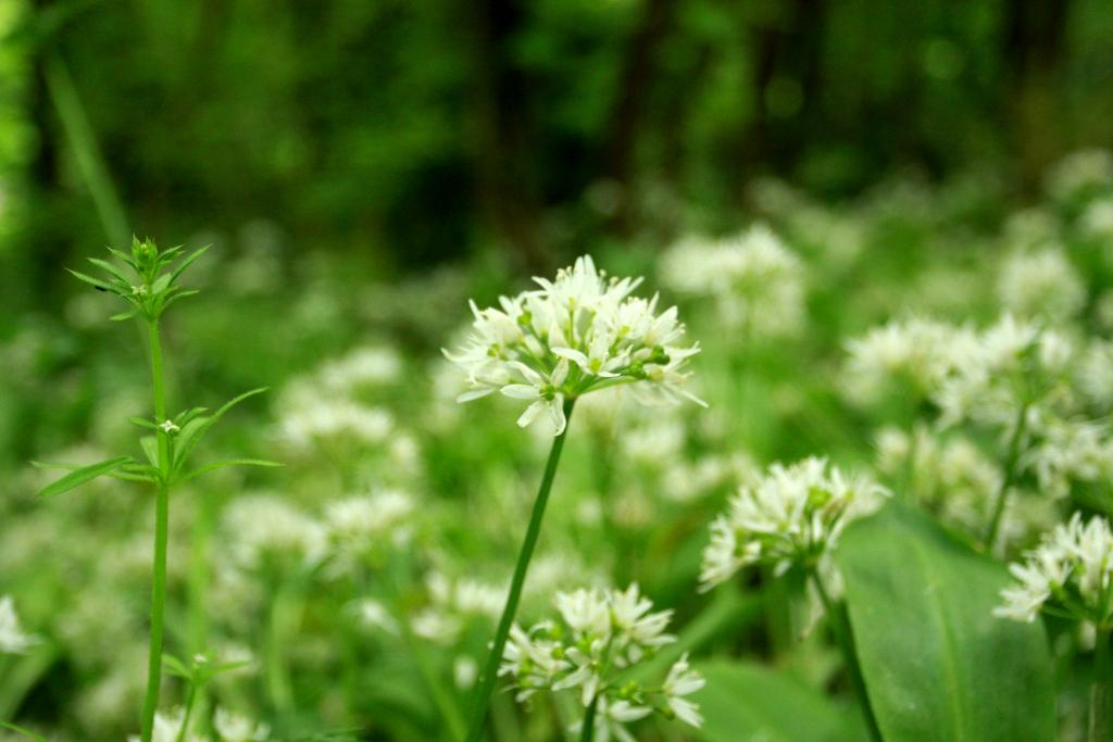 upcott farm wild garlic