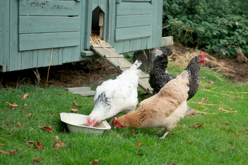upcot farm chickens again