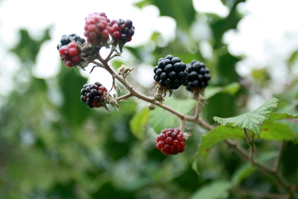 upcott farm - blackberry