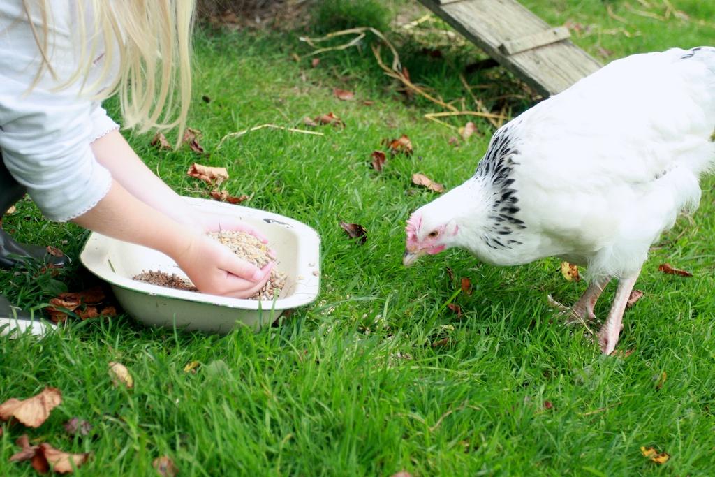 upcottfarm chickens return