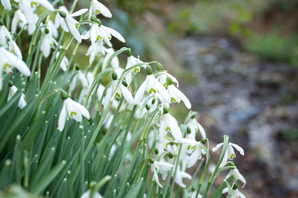 upcott farm snowdrop time