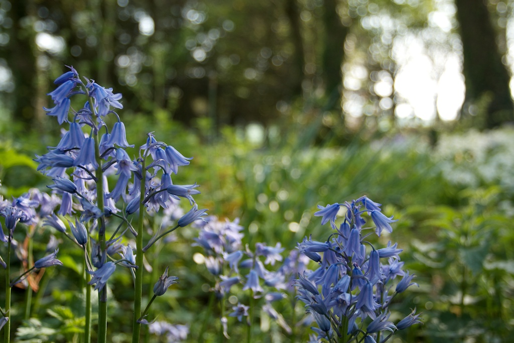 upcott farm pickwell bluebells